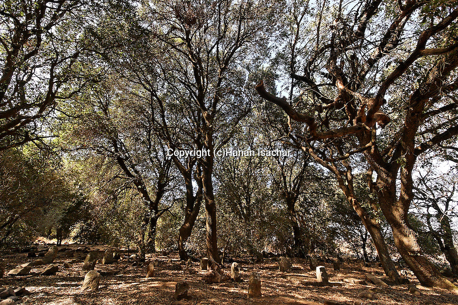 The Golan Heights. Oak trees in the Circassian cemetery near Marom Golan