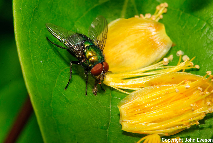 Greenbottle fly ( Lucilia caesar )....Copyright..John Eveson, Dinkling Green Farm, Whitewell, Clitheroe, Lancashire. BB7 3BN.01995 61280. 07973 482705.j.r.eveson@btinternet.com.www.johneveson.com