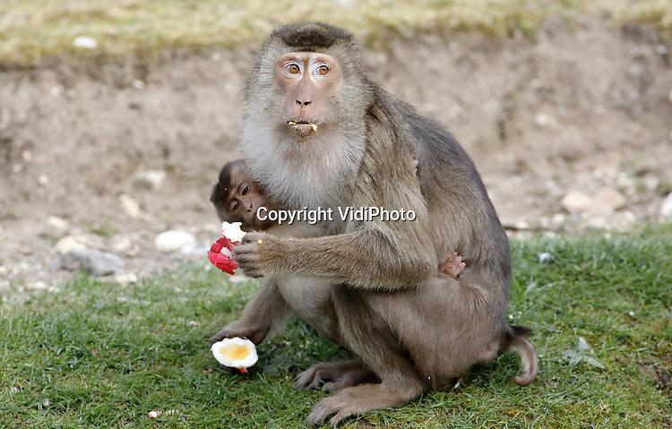 Foto: VidiPhoto<br /> <br /> ARNHEM – Pasen gaat gewoon door, crisis of niet. Daarom kregen de dieren van Burgers' Zoo in Arnhem donderdag een niet-alledaagse tractatie: honderden creatieve eieren. Gekookt, gekleurd, rauw en zelfs onbevruchte eieren van de eigen zwarte ganzen werden als verrijking aangeboden. Niet alleen de Maleise beren kregen zo'n traktatie, maar ook apensoorten zoals de laponders en de doodshoofdapen. Vanwege de coronacrisis is het Arnhemse dierenpark Koninklijke Burgers' Zoo voor het eerst in zijn 107-jarige geschiedenis met Pasen gesloten voor bezoekers. Zelfs tijdens de beroemde Slag om Arnhem toen Burgers' Zoo midden in de vuurlinie lag en de granaten letterlijk om de oren vlogen was het park wel open voor bezoekers. In het dierenpark gaat het leven echter door: dierverzorgers werken dagelijks hard om de dieren zo goed mogelijk te verzorgen.