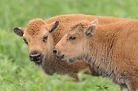 Neal Smith National Wildlife Refuge - Bison, Elk & Birds