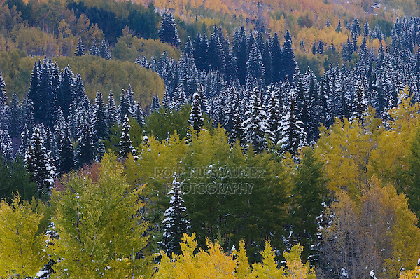 Early Snow on Aspentrees in fallcolor and spruces, Red Mountain Pass, Ouray, Rocky Mountains, Colorado, USA