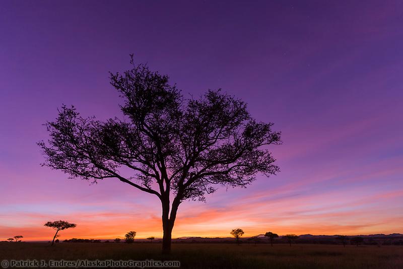Sunrise and Umbrella Acacia tree, Serengeti National Park, Tanzania, East Africa