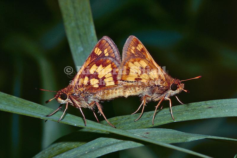14049-HK Checkered Skipper Butterfly, Pyrgus communis, a pair mating, on grass leaf, at Cincinnati, Ohio USA