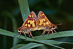 14049-HK Checkered Skipper Butterfly, Pyrgus communis, a pair mating, on grass leaf, at Cincinnati, Ohio USA