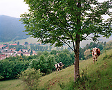 FRANCE, Couvet, cows in pasture on a hillside about the town of Couvet, Jura Wine Region