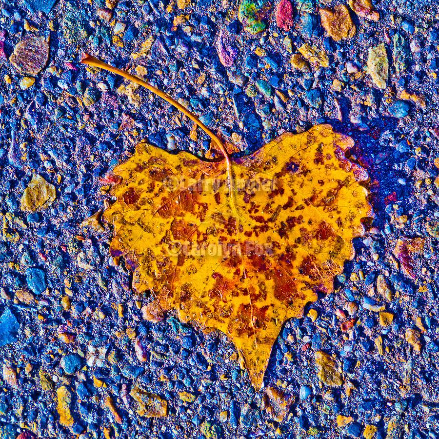 Poplar leaves on the street, Peek Hill, Jackson, Calif.