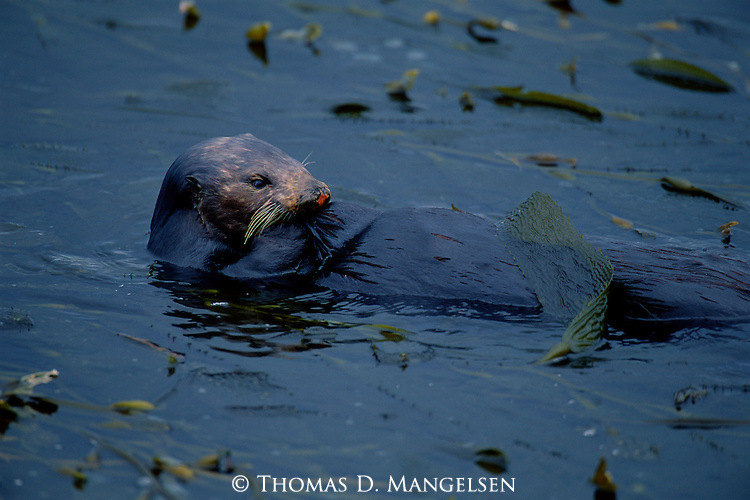 A sea otter floats on its back in the Pacific tide of Monterey Bay in California.