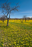 An old fallow cherry orchard has grown a bumper crop of dandelions, near Ellison Bay, Door County, Wisconsin