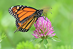 Monarch butterfly on red clover at Rose Valley Lake.