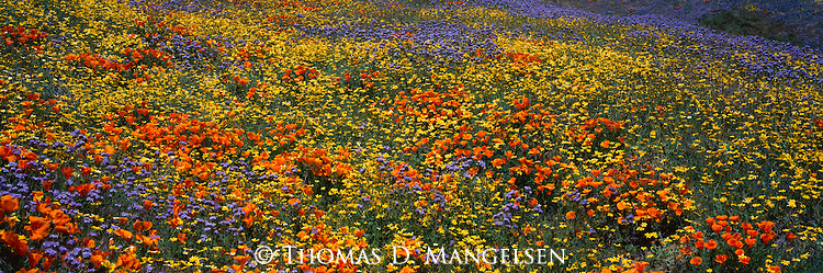 Poppies and other wildflowers bloom in the Tehachapi Mountains of California.