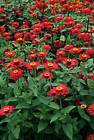 Zinnia 'Scarlet Splendor' - AAS Winner 1990 Tall Dahlia flowered