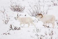 Dall sheep ram chases an female during the winter rut season in the Brooks Range, Alaska.