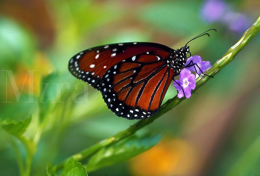 Queen butterfly, feeding