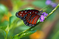 Queen butterfly, feeding
