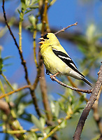 Finch - Goldfinch