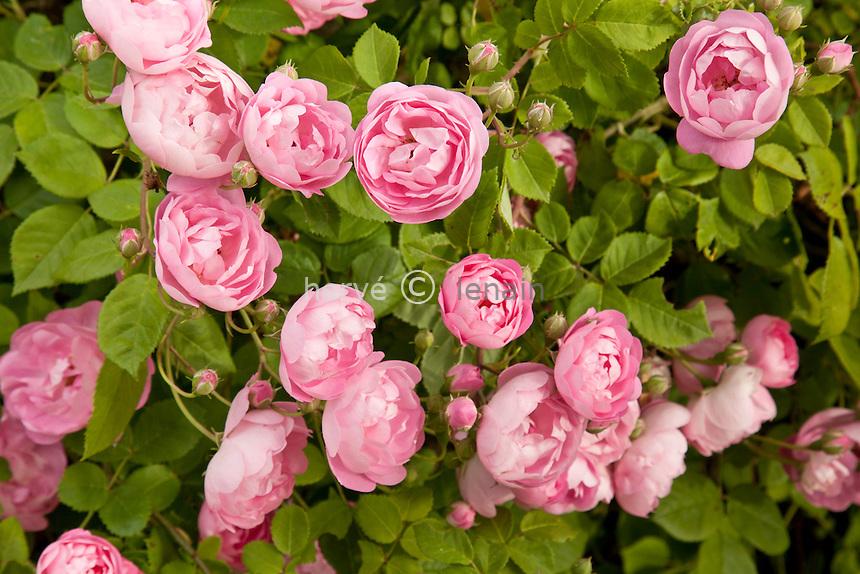 Rose 'Raubritter', Rosa 'Raubritter'.
