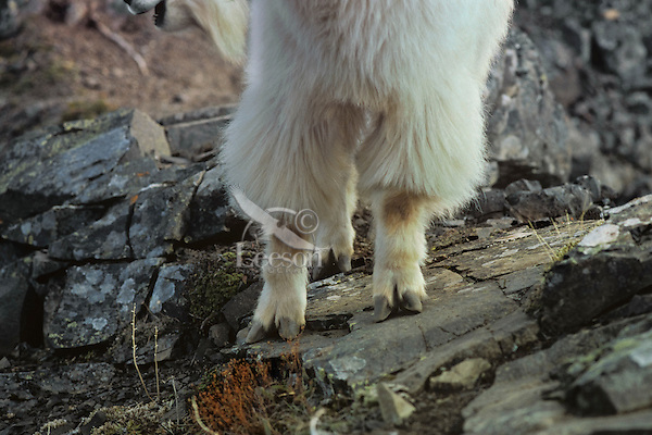 Mountain Goat feet--shows how hooves spread apart for a better grip on steep rock walls.
