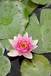Pink Water Lily in Bellagio, Italy on Lake Como.