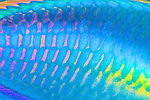 Scarus taeniopterus, Princess parrotfish, Florida Keys