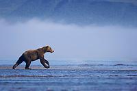 Evil Bastard (AKA Licorice) hunts. Kodiak grizzly bear (Ursus arctos middendorffi), Hallo Bay