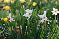 Narcissus Poeticus Praecox
