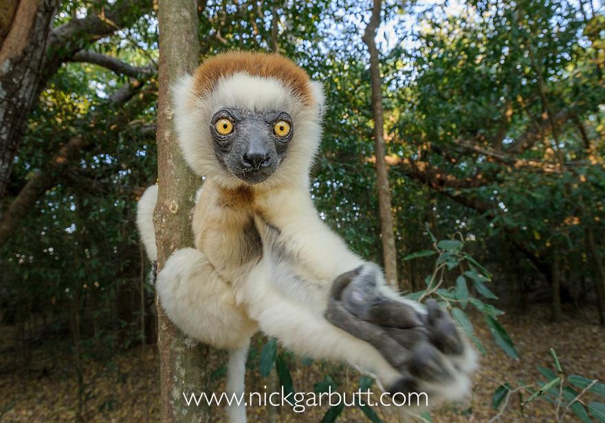 Verreaux's Sifaka (Propithecus verreauxi). Berenty Private Reserve, southern Madagascar.