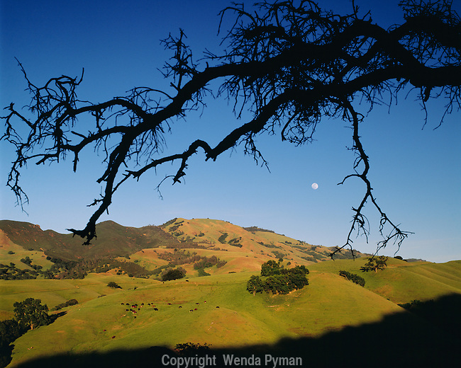 Moon rises above Mt. Diablo Peak, while cows are grazing. Transition from spring green to golden summer.