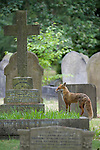 A Red fox (Vulpes vulpes) stand amongst graves in a London cemetery
