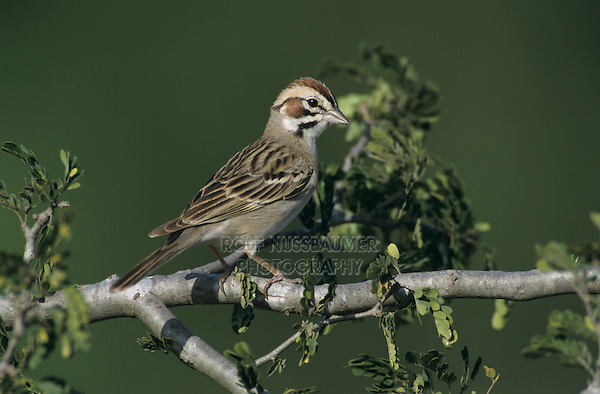 Lark Sparrow, Chondestes grammacus,adult, Starr County, Rio Grande Valley, Texas, USA, May 2002