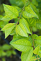 "Yellowing of the leaves between the veins indicates that this 'Morello' cherry has a mineral deficiency. It may lack the nutrients iron or manganese (known as ""lime-indiced chlorosis"") or magnesium."