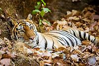 Bengal tiger, Indian tiger, Panthera tigris tigris, Bandhavgarh National Park, endangered, India