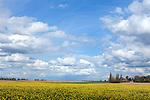 Europa, DEU, Deutschland, Nordrhein Westfalen, NRW, Rheinland, Niederrhein, Opherten, Jülicher Börde, Agrarlandschaft, Frühling, Raps, Rapsblüte, Kirche, Kirchturm.  Kategorien und Themen, Landwirtschaft, Landwirtschaftlich, Agrar, Agrarwirtschaft, Erzeugung, Landwirtschaftliche Produkte, Natur, Naturfoto, Naturfotos, Naturfotografie, Naturphoto, Naturphotographie, Landschaft, Landschaften, Landschaftsfoto, Landschaftsfotografie, Landschaftsphoto, Landschaftsphotographie<br /> <br /> [Fuer die Nutzung gelten die jeweils gueltigen Allgemeinen Liefer-und Geschaeftsbedingungen. Nutzung nur gegen Verwendungsmeldung und Nachweis. Download der AGB unter http://www.image-box.com oder werden auf Anfrage zugesendet. Freigabe ist vorher erforderlich. Jede Nutzung des Fotos ist honorarpflichtig gemaess derzeit gueltiger MFM Liste - Kontakt, Uwe Schmid-Fotografie, Duisburg, Tel. (+49).2065.677997, archiv@image-box.com, www.image-box.com]