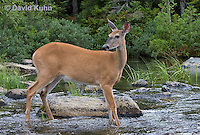 0623-1009  Northern (Woodland) White-tailed Deer, Odocoileus virginianus borealis  © David Kuhn/Dwight Kuhn Photography