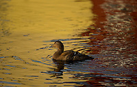 Eider duck in coloured water, Somateria mollissima, Norway coast, Nr Trondheim.
