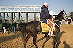 Eight Belles, a philly running in the Kentucky Derby, gets ready for a practice start several days before the big race. Eight Belles finished in second place behind Big Brown but broke her ankles during the race and quickly euthanized on the race track. Her death brought to light questions about breeding practices and treatment of race horses.