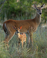 White-tailed doe (Odocoileus virginianus) and fawn at first light.