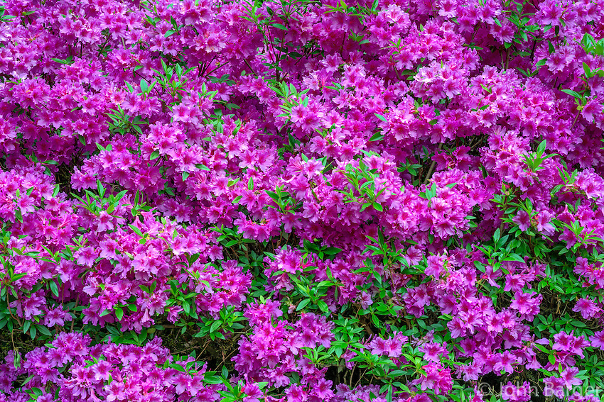 ORPTC_D135 - USA, Oregon, Portland, Crystal Springs Rhododendron Garden, Azalea in bloom.