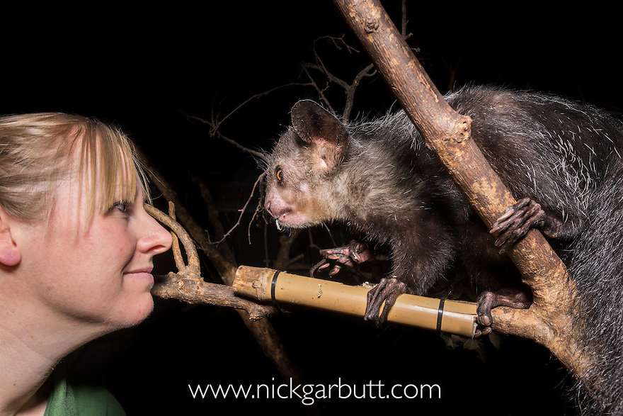 Male Aye-aye (Noah) (Daubentonia madagascariensis) with keeper Lynsey Bugg. Nocturnal House, Bristol Zoo Gardens, Clifton, Bristol, UK.