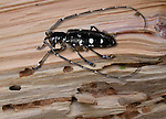 Asian long-horned wood boring beetle Anoplophora glabripennis (Starry sky beetle).  Very serious threat to North American forests.  Spreading from the west of the continent and expanding quickly.