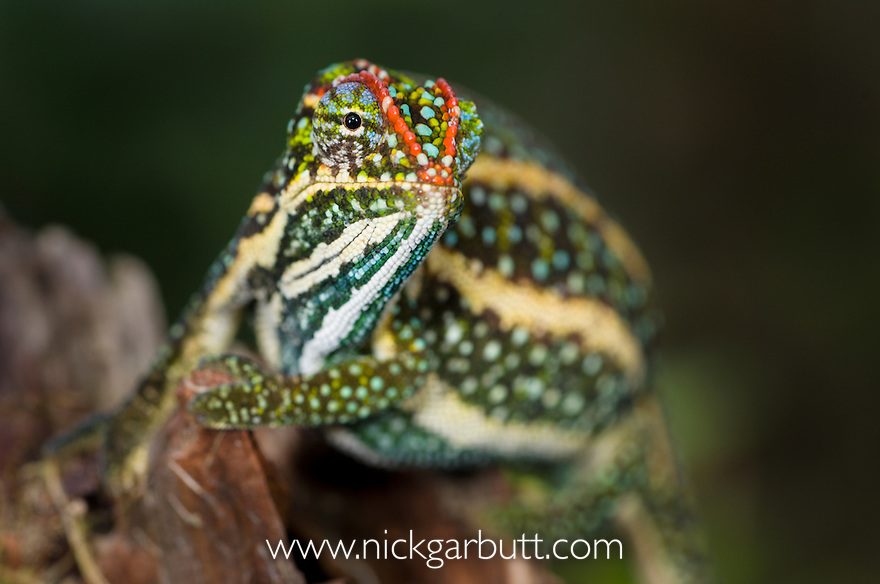 Male Montane Jewel Chameleon (Furcifer campani) in breeding colouration. From central highland regions, Madagascar.