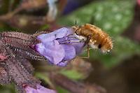 Hummelschweber, Großer Wollschweber, Bombylius major, Blütenbesuch an Lungenkraut, Schwirrflug vor Blüte, Saugrüssel, Nektarsuche, Blütenbestäubung, beeflies, beefly