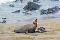 Northern Elephant Seal (Mirounga angustirostris) female with pup.  Central California Coast.  March.