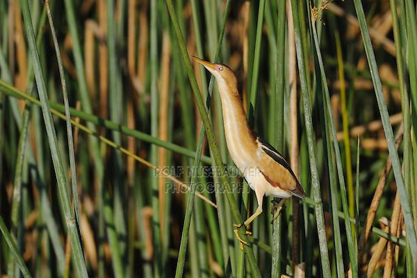 Least Bittern (Ixobrychus exilis), adult in reeds, Fennessey Ranch, Refugio, Coastal Bend, Texas Coast, USA
