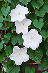 13976-CM Moonflower, Ipomoea alba (syn. Calonyction aculeatum), flowers of night-blooming vine, in October at Bakersfield, CA. USA.