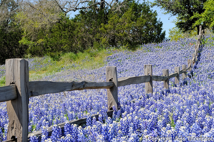 Bluebonnets, Buchanan Dam, Texas