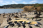 canada geese and pigeons at Martinez Regional Shoreline