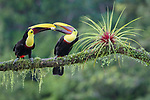 Toucans share banana piece lady and the tamp style by Renee Doyle