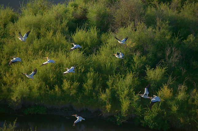 White pelicans flying over trees