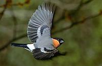Gimpel, Dompfaff, Männchen im Flug, Flugbild, Pyrrhula pyrrhula, Eurasian bullfinch
