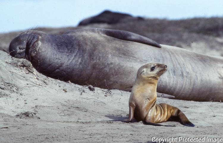 CA sea lion juvenile and elephant seal
